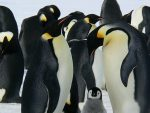 ВЕЛИЧАНСТВЕНО ОТКРИЋЕ: Колонија од милион и по пингвина живи на сасвим неочекиваном месту