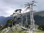ИТАЛИЈА: Пронађено најстарије дрво у Европи