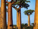 АФРИКА: Стабла баобаба вену под мистериозим околностима