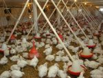 НОВОСТИ: У Србију стижу пилићи храњени ГМО?