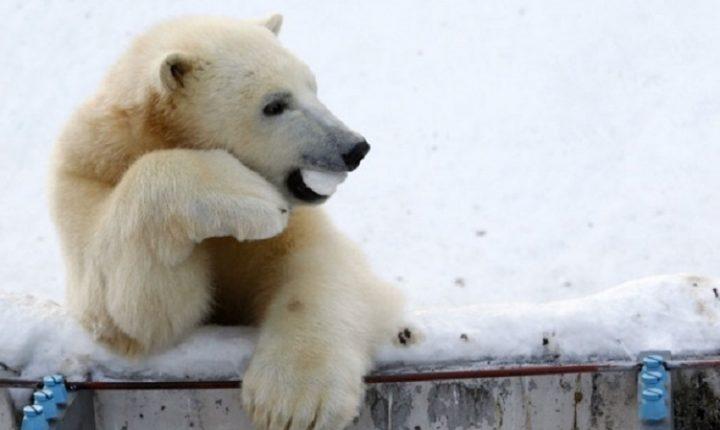 АРХАНГЕЛСКА ОБЛАСТ: Масовна инвазија поларних медведа, проглашено ванредно стање
