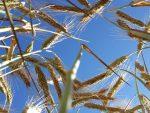 Притисак на Србију да уведе ГМО: Опасност да закорачимо у зону без повратка