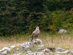 ИМАЈУ ЛИ ДУШЕ: Криволовци у Црној Гори убили мечку, срну и лане и два белоглава супа